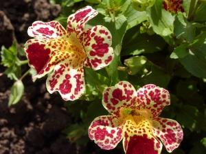 Некоторые растения могут привлекать не только своим цветением, но и листиками