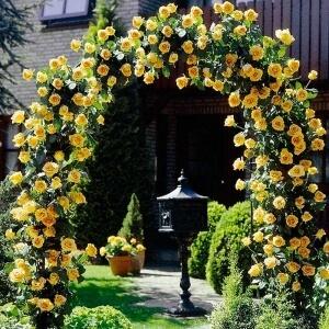 Почвопокровные розы неприхотливы