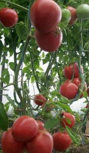 Во время полива Вы можете удобрить томаты