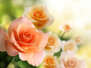 Не забывайте удобрять розы