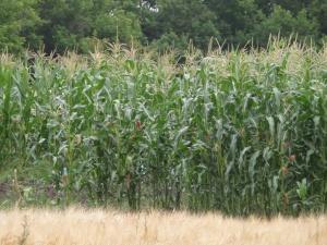 Существует множество сортов кукурузы на силос