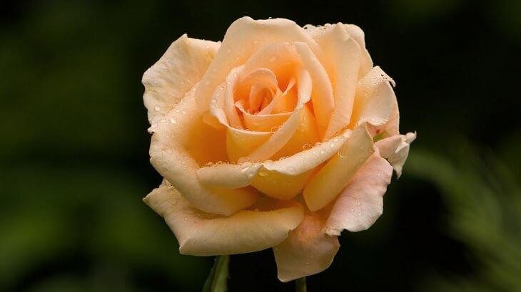 Следите за вредителями, которые могут одолеть розы