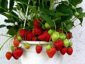 Также возможно и опрыскивание растения удобрениями