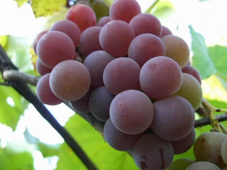 Не забывайте перед посадкой узнать о винограде