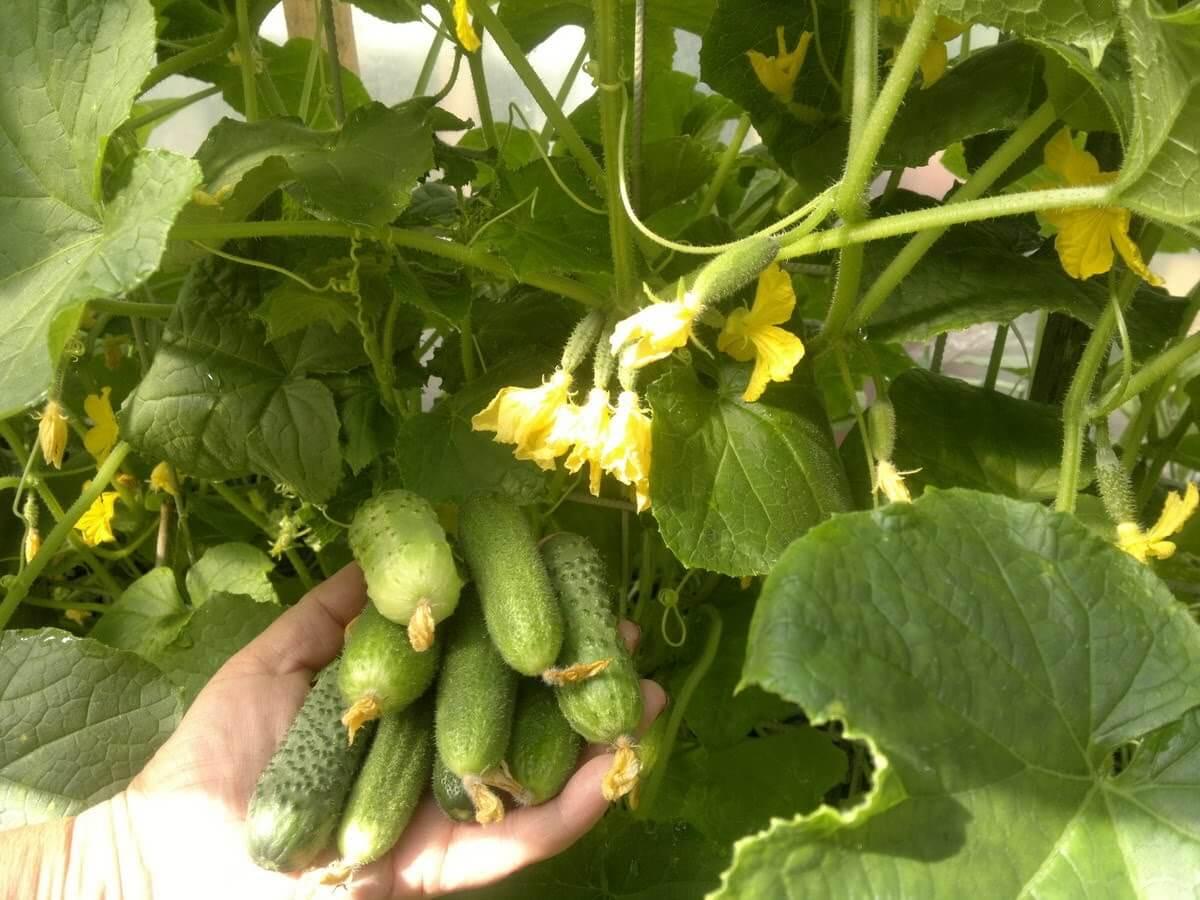 Как вырастить огурцы в открытом грунте — посадка семенами и рассадой