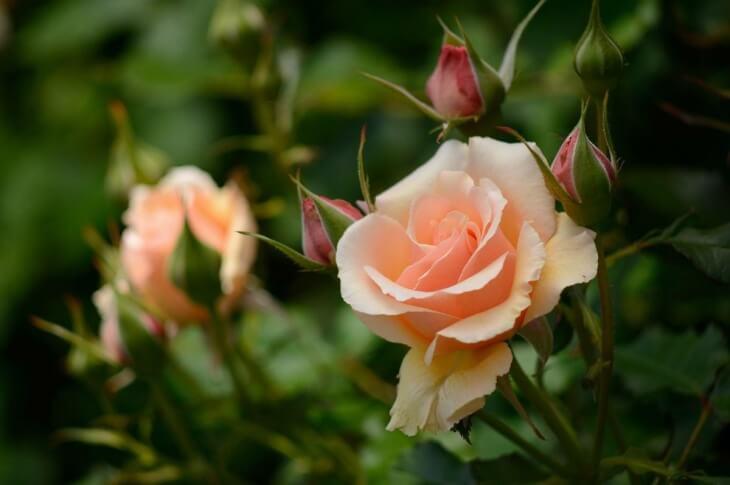 Розы - это очень капризное растение