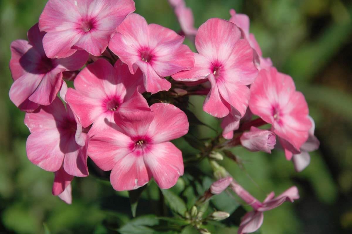 Флокс Друммонда - выращивание однолетника из семен, посадка, уход и сорта