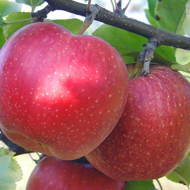 Фото джонотановых яблок на ветке
