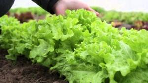 Листовой салат не нуждается в рекомендациях