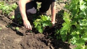 Виноград можно размножать несколькими способами