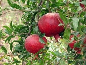 Плоды граната (фото)
