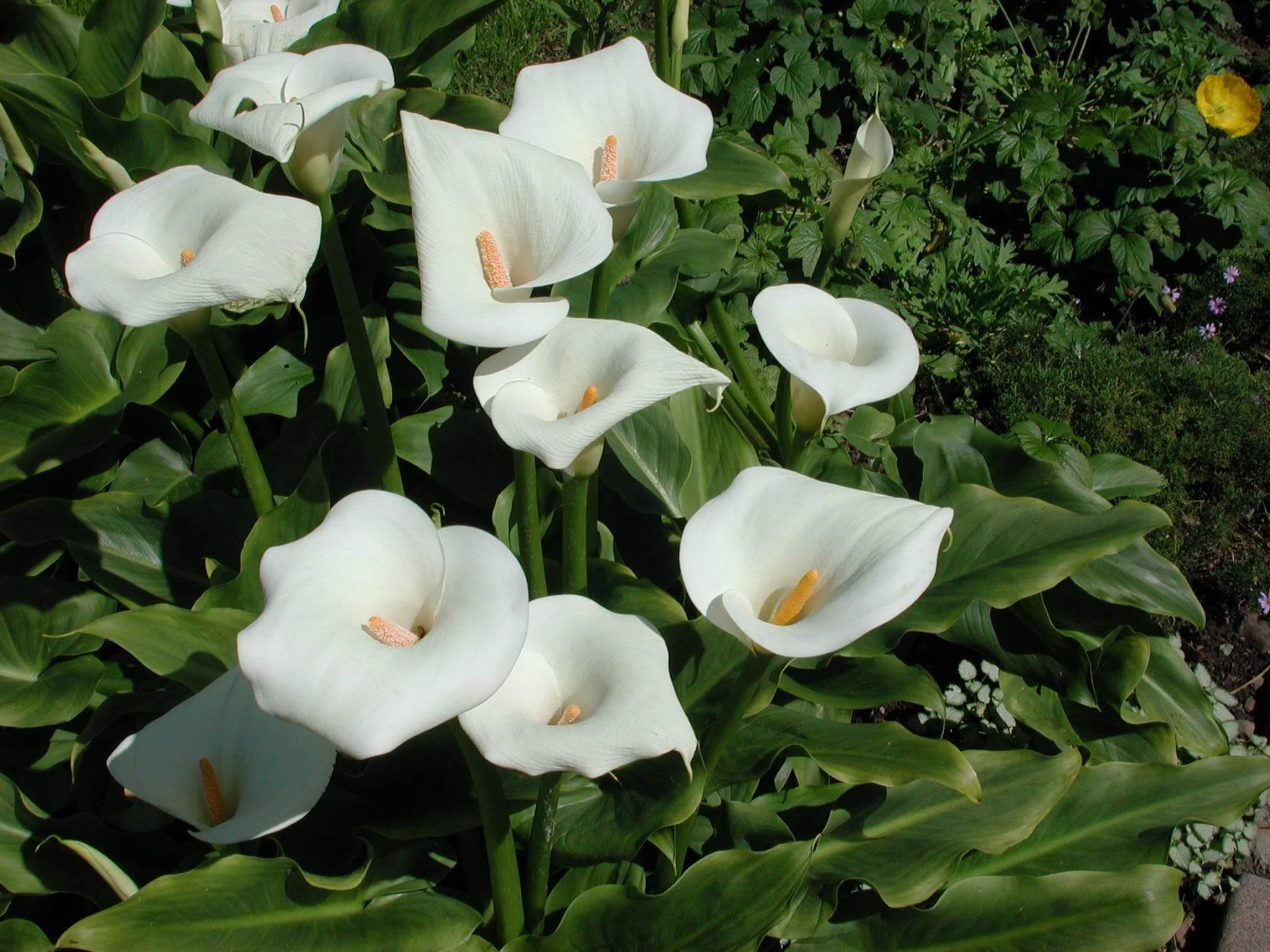 Выращивание каллы в саду – советы цветоводам