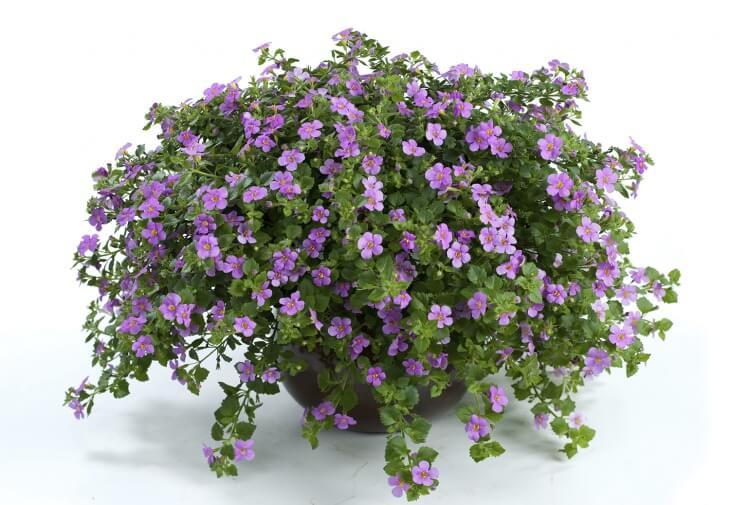 В основном быстрый рост данного растения происходит в ширину