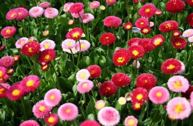 Маргаритки в цветнике
