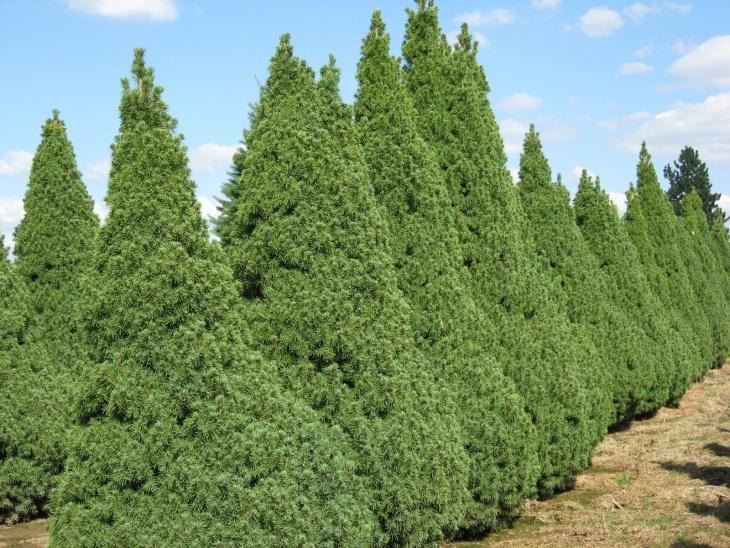 Взрослые растения