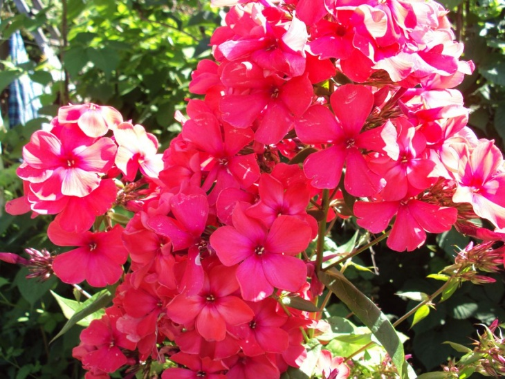 Цветение флокса метельчатого
