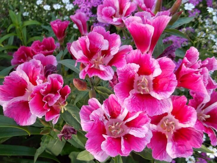 Годеция - однолетнее растение