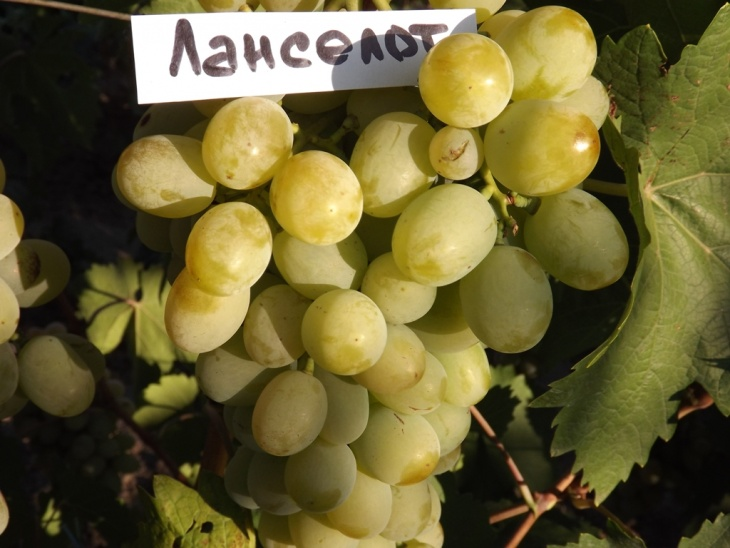 Новинка среди столовых сортов винограда — Ланселот