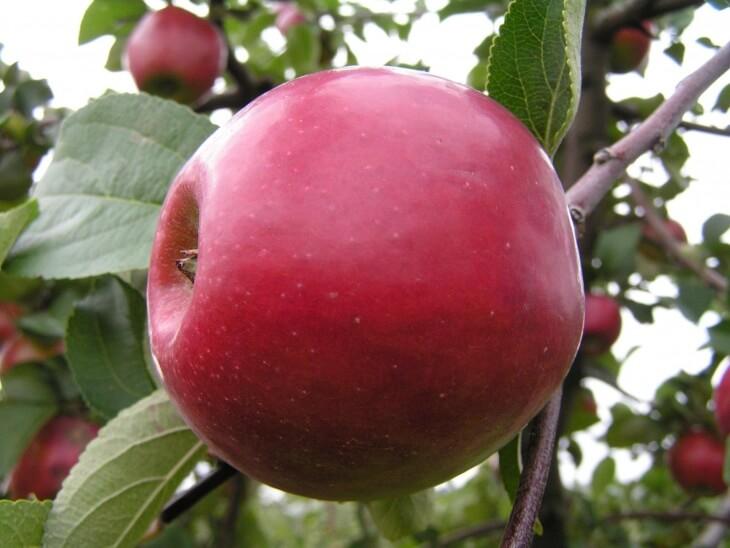 Такие яблоки получаются при корректном уходе