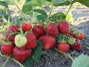 Семена заготовленные самостоятельно, следует предварительно замочить на 24 часа перед высадкой в ящик