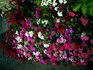Очень интересны сорта с пестрыми листьями и одно тонными шапками ярких цветов