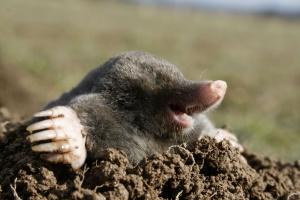 Толченый чеснок – резкий и неприятный запах отпугивает кротов