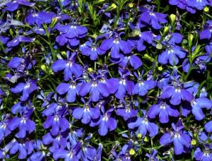 Прекрасное цветение на участке