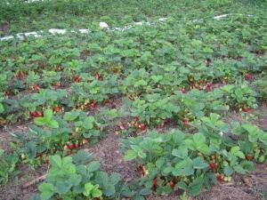 Первый урожай начинают собирать в июне - июле, а второй - в августе - сентябре