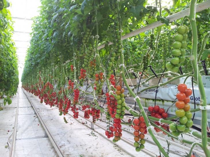 Ухоженные грядки томатов