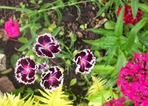 Турецкая гвоздика из семян