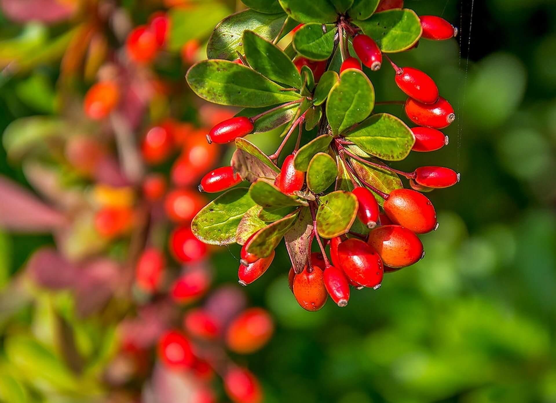 Посадка и уход за барбарисом обыкновенным — приятные хлопоты и украшение сада