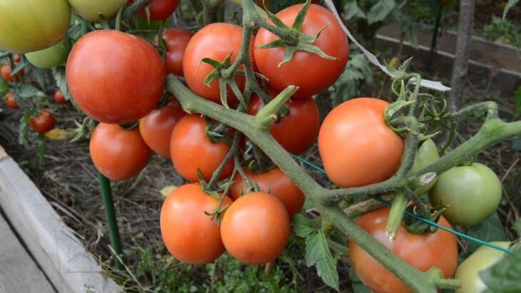 Детерминантные томаты не требуют особого ухода