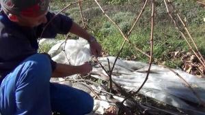 Обрезка винограда секатором