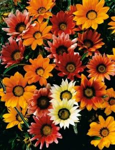 Обильное цветение газании