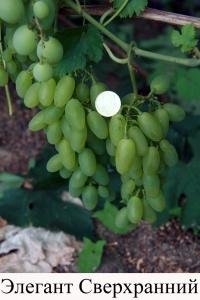 Виноград сорта элегант сверхранний