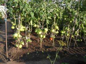 Пасынкование - важный этап в роста томатов