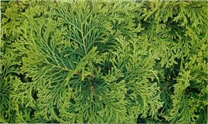 Кипарисовик, выращенный из семян