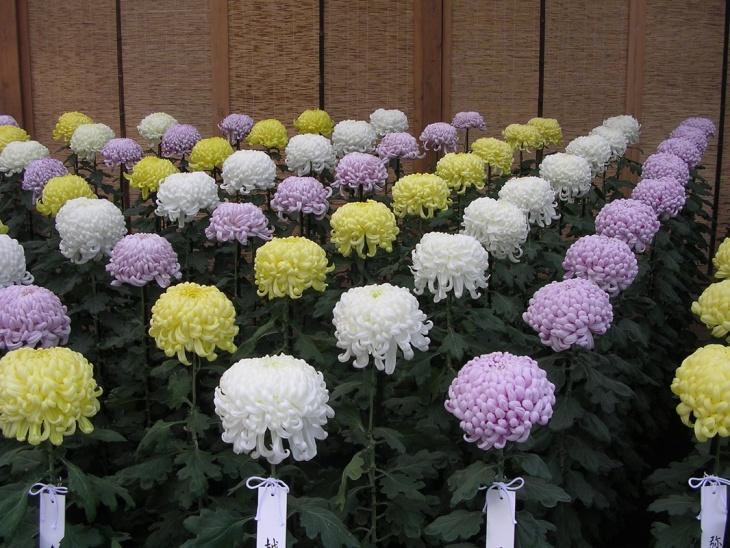 Ухоженный цветник хризантем