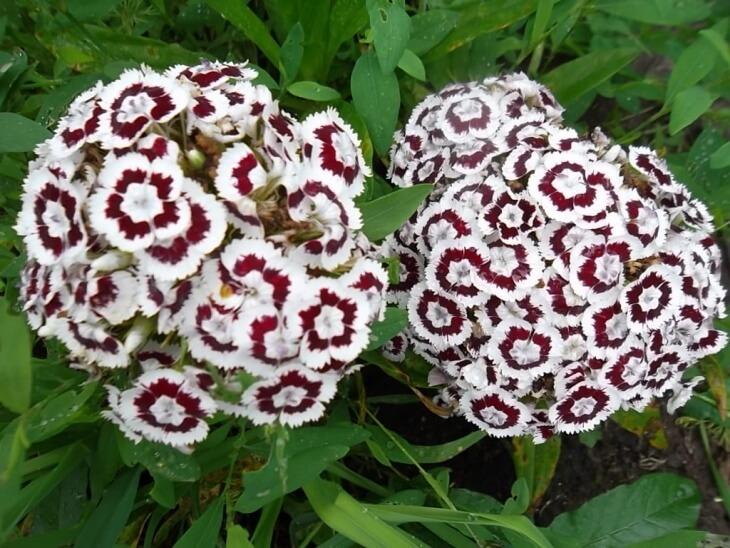 Лат. Dianthus barbatus