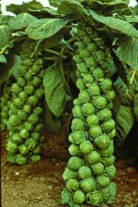 Плоды брюссельской капусты