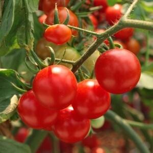 Помидор: правила выращивания рассады на подоконнике