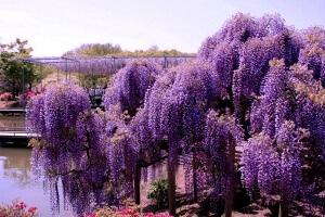 Выращивание глицинии из семян: декоративное чудо природы на участке