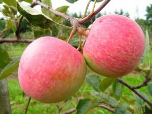 Плоды начинают созревать к середине осени