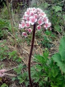 Эффектные цветки дармары отлично подходят для озеленения