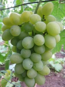 Лучше всего выбирать северную часть сада для посадки винограда