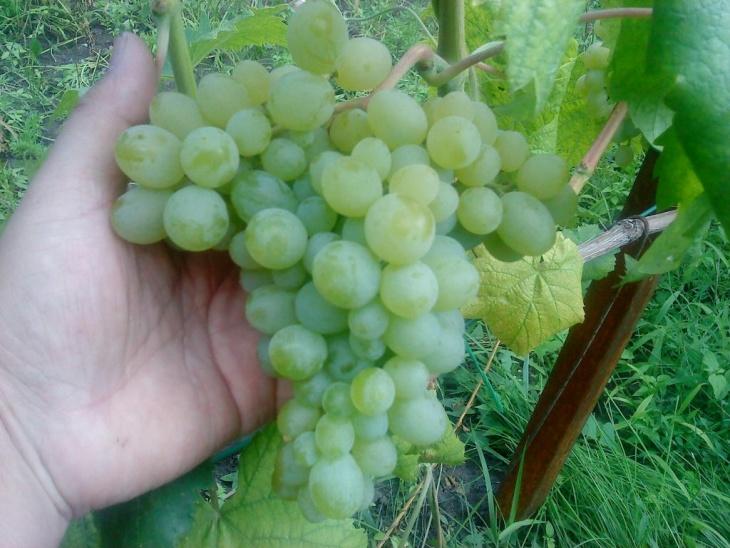 Виноград Элегант, урожай