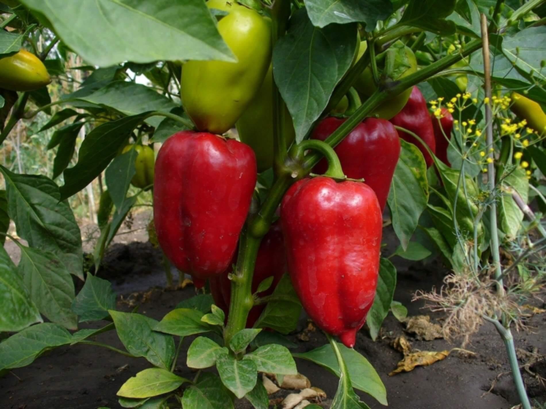 Выращивание сладкого перца в открытом грунте — делимся секретами