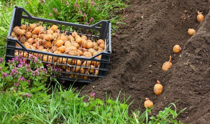 Обычная посадка картофеля