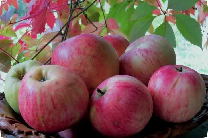 Плоды яблок сорта штрифель