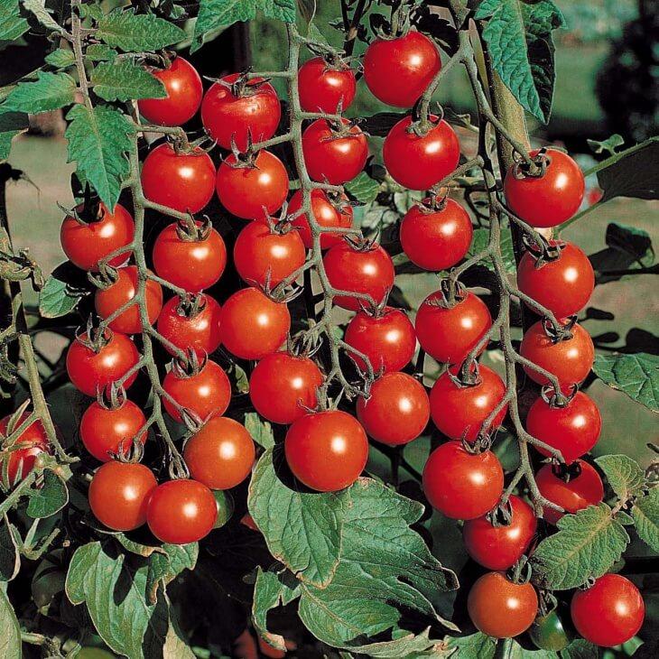 Один из сортов томатов